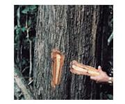 タヒボ製造工程-樹木の選別