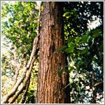 タヒボ樹木画像
